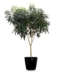 Ficus macleiandii