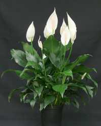 Spathiphyllum Lepelblad