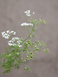 Flores y Semillas de Cilantro