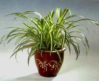 Graslelie/ chlorophytum