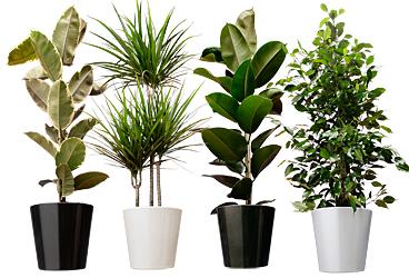 Grote makkelijke kamerplanten