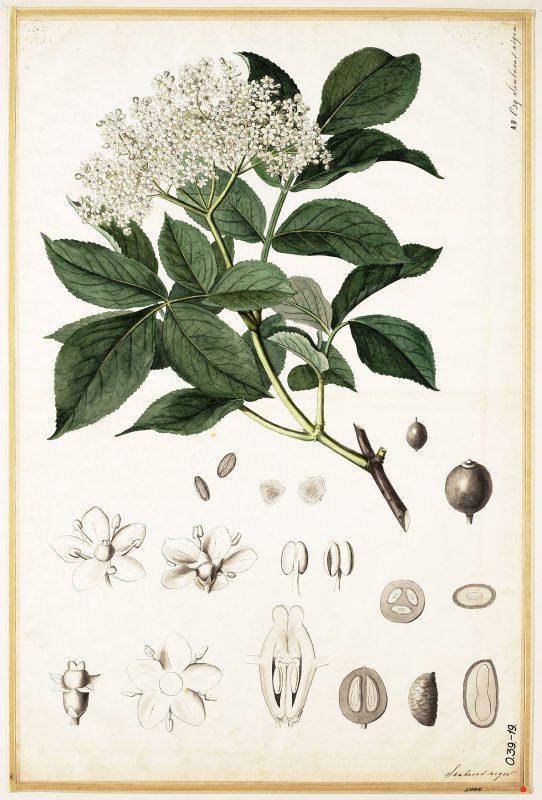 Vlier (Sambucus nigra)